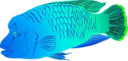 napoleon: Napoleon Fish