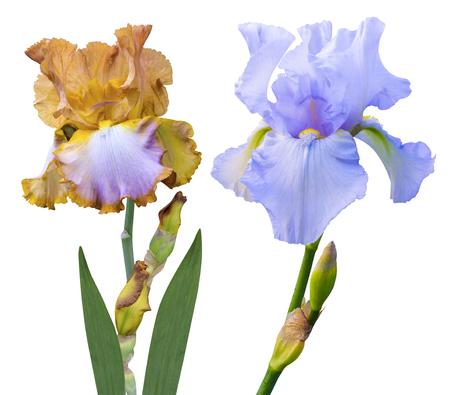 irises: irises