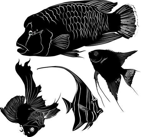 napoleon fish: aquarium fish