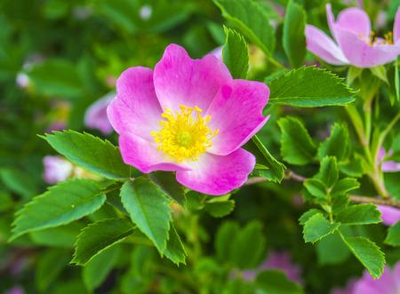 dog-rose Zdjęcie Seryjne