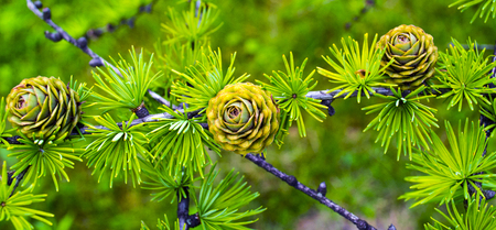 spruce: spruce branch with cones