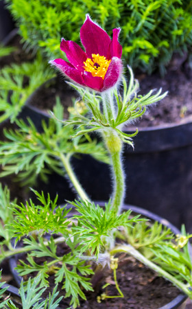 pasqueflower: pasque-flower