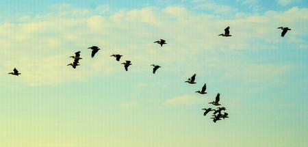california delta: flock of pelicans in the sky
