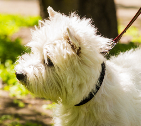 highland: West Highland White Terrier Stock Photo