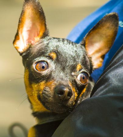 breeds: pet breeds toy terrier