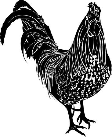animal cock: Cazzo. Pollame gallo. Farmer cazzo uccello. cazzo Bird. Gallo nero isolato su sfondo bianco.
