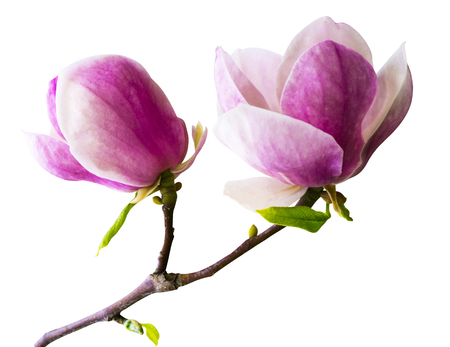 decoration of few magnolia flowers. pink magnolia flower isolated on white background. Magnolia. Magnolia flower. Magnolia flower, spring branch isolated on white Imagens