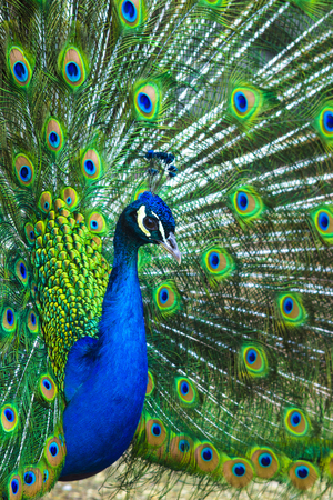 peafowl: peacock. peafowl.  Beautiful spread of a peacock. beautiful peacock bird. A beautiful male peacock with expanded feathers.