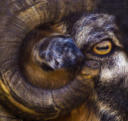 portrait of a ram. a ram. a ram eye. farm animal a ram.
