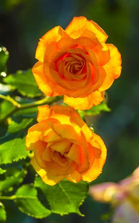 yellow roses: rosas amarillas. rosas amarillas frescas en el jard�n soleado verde. flor rosa amarilla con gotas de agua de cerca los detalles. Foto de archivo