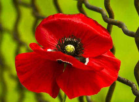 field of corn poppy flowers: poppy. Field of bright red corn poppy flowers. Red poppy. Papaver rhoeas common names include corn poppy. red poppy on a green background Stock Photo