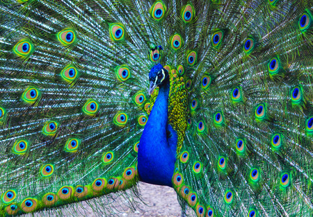 indian peafowl: peacock. peafowl. Beautiful spread of a peacock. beautiful peacock bird. A beautiful male peacock with expanded feathers.