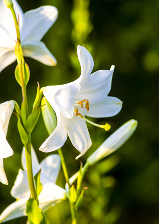 white lily: White Lily. White lily on green background. Beautiful white lily flowers on a background of green leaves outdoors.