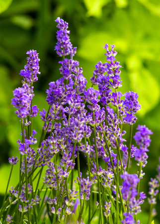 lavanda: lavender. Lavender Field in the summer. lavender flowers.Bunch of scented flowers in the lavanda fields.