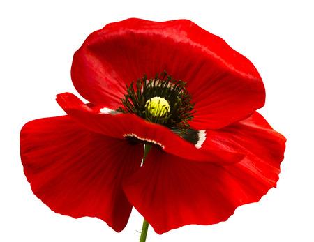 ポピー。赤いケシ ポピー白 background.red に分離されました。美しい単一の頭状花。赤いラナンキュラスは、白い背景で隔離。 写真素材