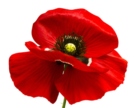 poppy. red poppy isolated on white background.red poppy. beautiful single flower head. red ranunculus isolated on white background. 免版税图像 - 59917744