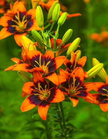 orange lily: lily. Orange lily flower. Lily Stock Photo