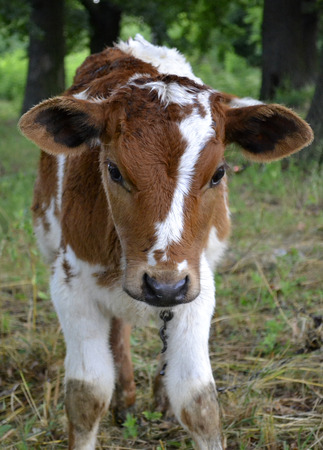 agricultural animal calf. animal calf grazed in a meadow Stock Photo