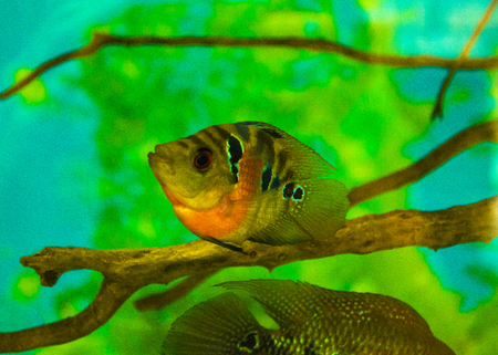 aquarium fish cichlid Stock Photo