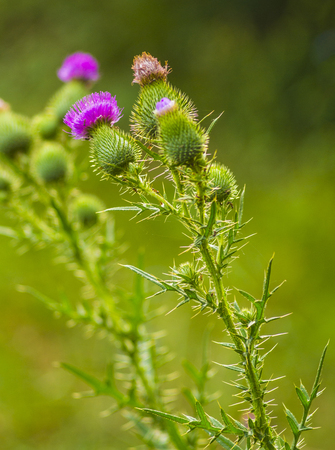 thistle. pink milk thistle flower in bloom in spring. Single Thistle Flower in Bloom in the field. Pink thistle flower