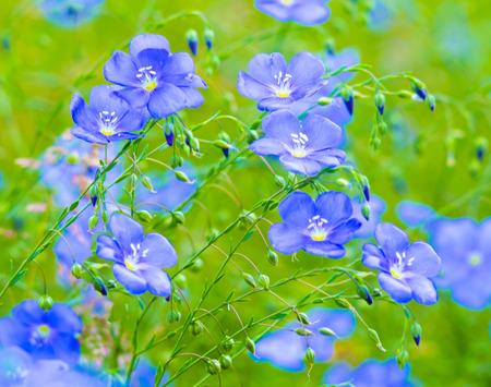flax flowers. A field of blue flax blossoms. blue flax. blue flax field closeup at spring, shallow depth of field. 写真素材
