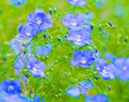 flax flowers. A field of blue flax blossoms. blue flax. blue flax field closeup at spring, shallow depth of field. Stock Photo