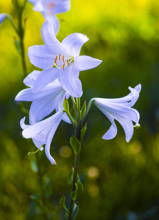 belladonna: lilies. madonna lily,white lily,flowers spring,lily on white,white flowers,white petals,lily flowers against fence,amazing white flowers,spring flowers. lily white