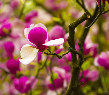 magnolia flowers: decoration of few magnolia flowers. Magnolia. Magnolia flower. Magnolia flower, spring branch, clipping path included. Stock Photo