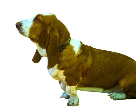 basset hound: Basset Hound
