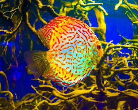 saltwater fish: Discus. Discus for aquarium saltwater fish