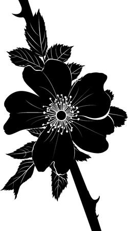 dog rose: dog-rose. Rosehip. dog rose flower. A branch of a flowering wild rose. Rose flower. wild rose flower. Medicinal plant.