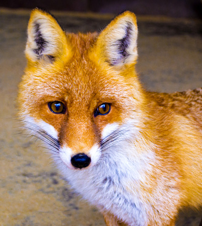 The Eyes of a Red European Fox.  Fox