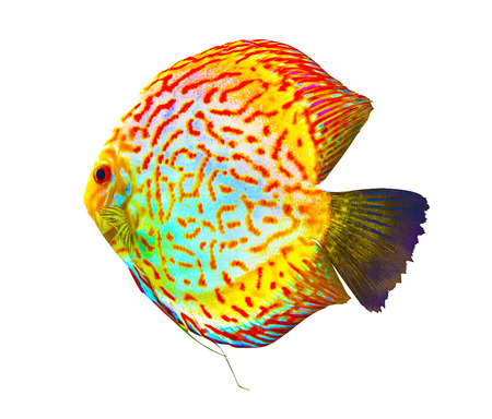 discus fish: Discus. Discus for aquarium saltwater fish. Discus  isolated