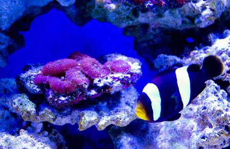 nemo: nemo fish and sea anemone. Clown fish Stock Photo