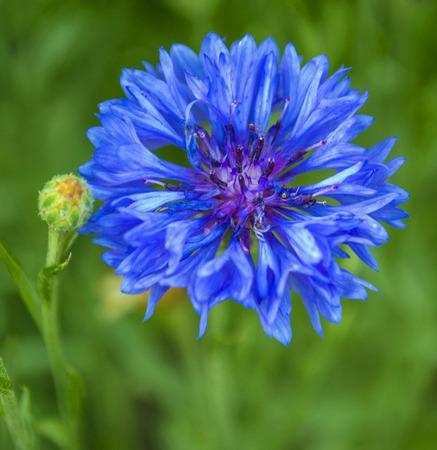 fiordaliso: blu fiordaliso. bluette in giardino