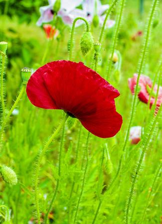 field of corn poppy flowers: Field of bright red corn poppy flowers Stock Photo