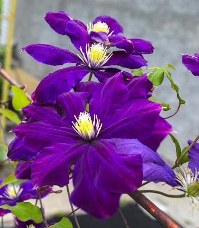 clematis flower: purple flower of clematis