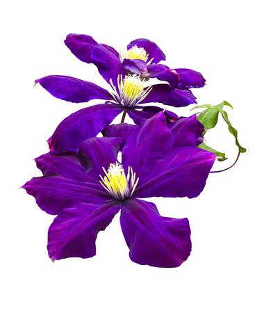 Purple flower of clematis clematis flower isolated on a white purple flower of clematis clematis flower isolated on a white background stock photo 72203743 mightylinksfo
