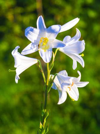 belladonna: lilies. madonna lily,flowers spring,lily on white,white flowers,white petals,lily flowers. amazing white flowers,spring flowers. lily white