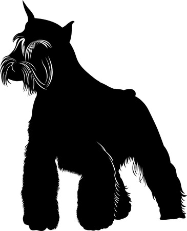 miniature schnauzer. Miniature Schnauzer dog. isolated on white background
