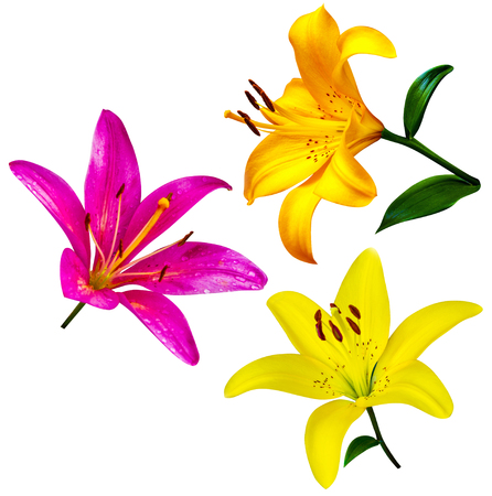 belladonna: lily flowers isolated. lily flowers. lily flowers isolated on white background.lily. Stock Photo