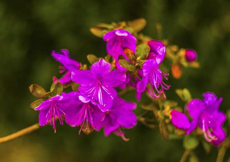 palustre: Ledum. Ledum palustre (Rhododendron tomentosum) plant in forest