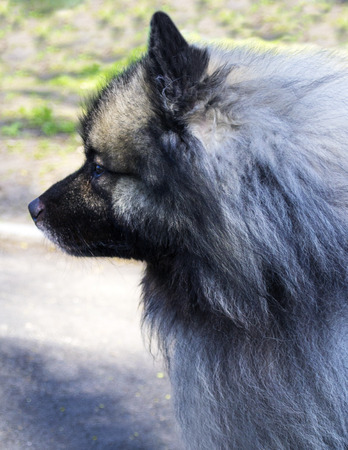 Wolf Spitz. A portrait of a purebred male Keeshond (German Wolfspitz)