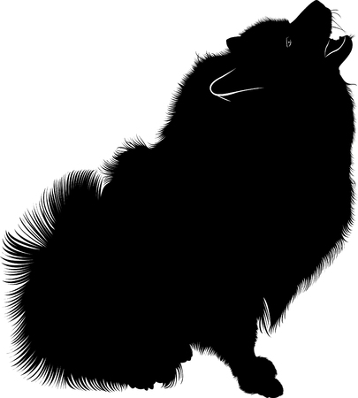 Wolf Spitz. A portrait of a purebred male by Keeshond (German Wolfspitz).