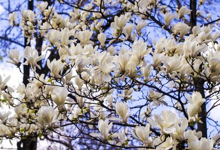 White magnolia creamy blossom of white magnolia tree beautiful stock photo white magnolia creamy blossom of white magnolia tree beautiful creamy magnolia flower magnolia flower in botanic garden mightylinksfo