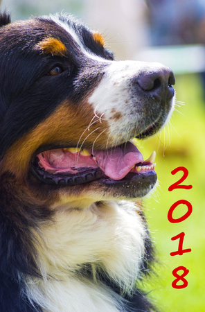 Dog breed Bernese Mountain Dog. Adorable dog portrait. Symbol of the year