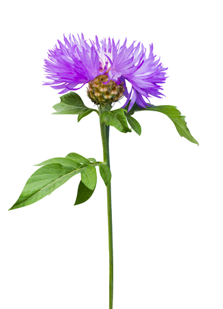 milk thistle flower. milk thistle. Flowering Milk thistle on white background. thistle flower isolated on white background Banco de Imagens