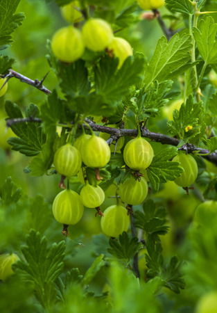 ribes: Fresh green gooseberries on a branch of gooseberry bush with sunlight. Gooseberry in the fruit garden.