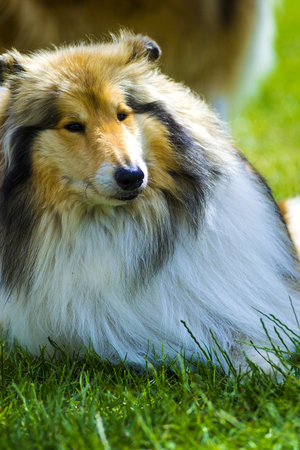collie. Dog collie. The collie is a distinctive type of herding dog, including many related landraces and formal breeds. Portrait of purebred dog Rough Collie.