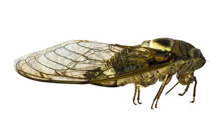 cigarra: Cicada on a white background. Cicada isolated. Cicada insect Foto de archivo
